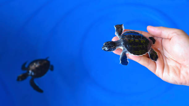 Man holding a newborn Baby Olive Ridley sea turtle. stock photo