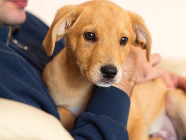 Man holding adopted cute golden puppy in his arms stock photo