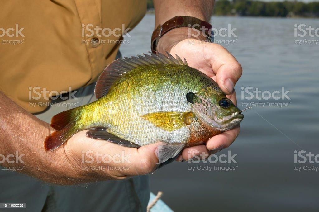 Man holding bluegill fish stock photo