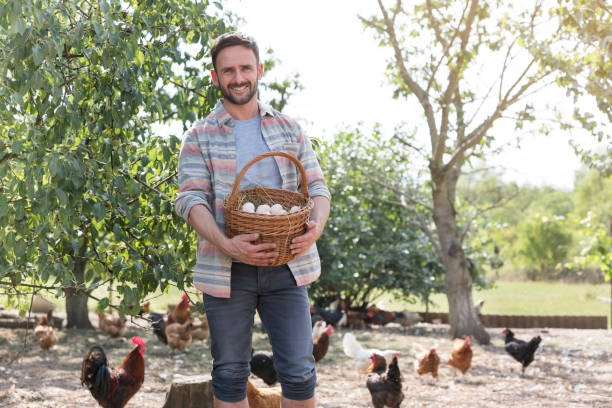 Man holding eggs in basket with chickens in background at farm stock photo