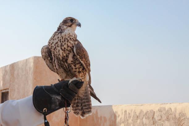 남자 사냥 하 그것을 사용 하기 전에 그의 팔 콘을 들고 - saudi national day 뉴스 사진 이미지