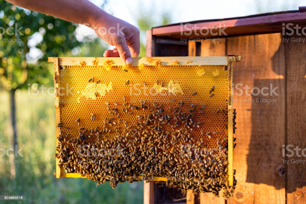 Man holding honeycomb frame for cheking the bees stock photo