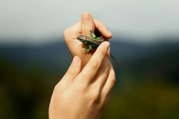 homme tenant en lézard vert coloré de mains sur fond de bois dans les montagnes de l'été, l'espace de texte - animaux familiers exotiques photos et images de collection