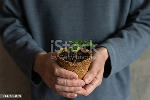 Man holding in her hands a tomato sprout in a eco friendly pot, tomato seedlings