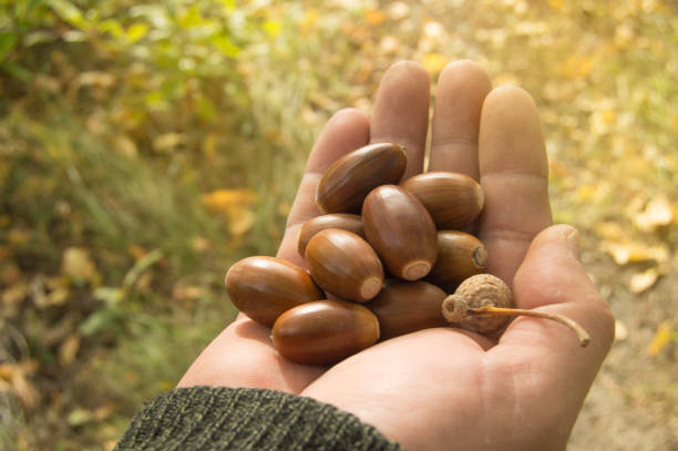 man holding in the palm of acorns that have fallen from oak in the background grass stock photo