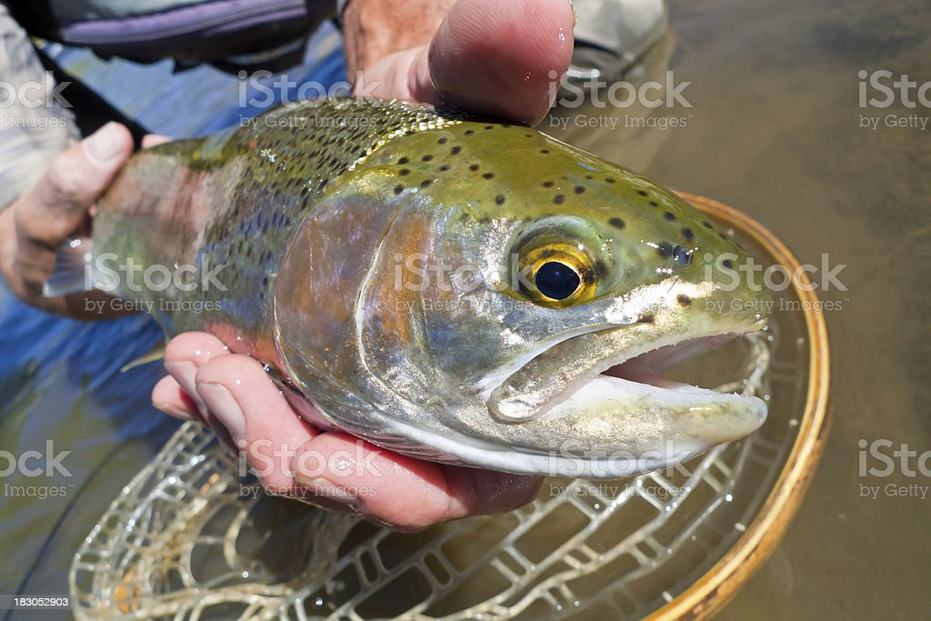 Man Holding Large Trout royalty-free stock photo