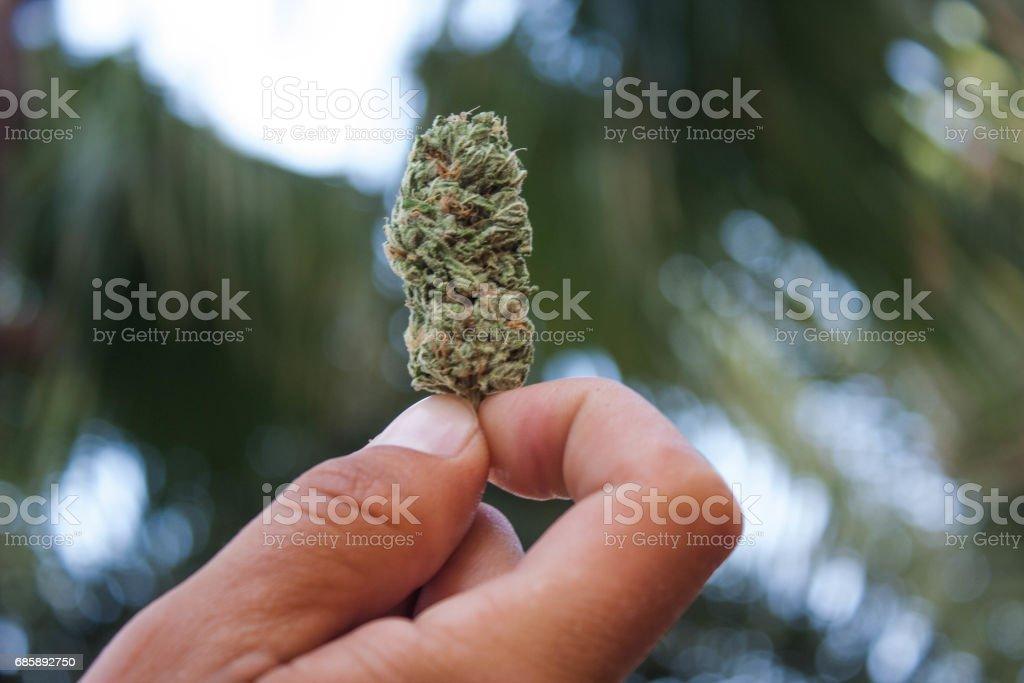 Man holding marijuana bud in a hand stock photo