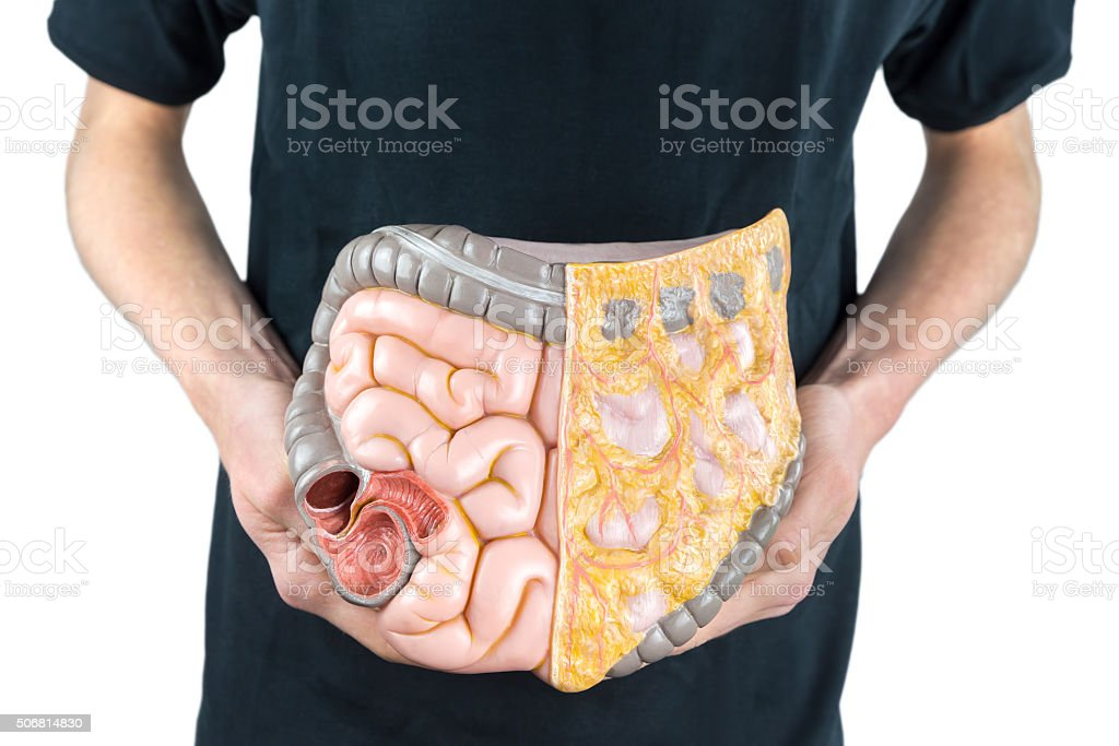 Man holding model of human intestines or bowels on white stock photo