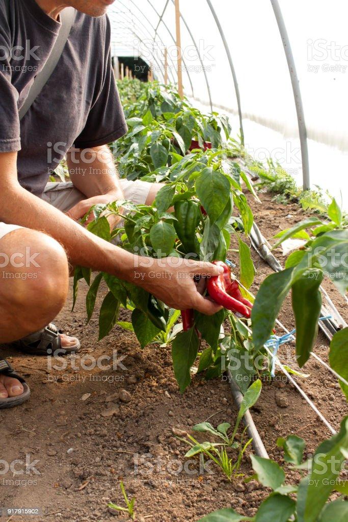 Man holding paprika stock photo