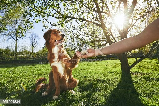 Springtime on the garden. Man holding paw of the his dog (Nova Scotia Duck Tolling Retriever) at the sunset.