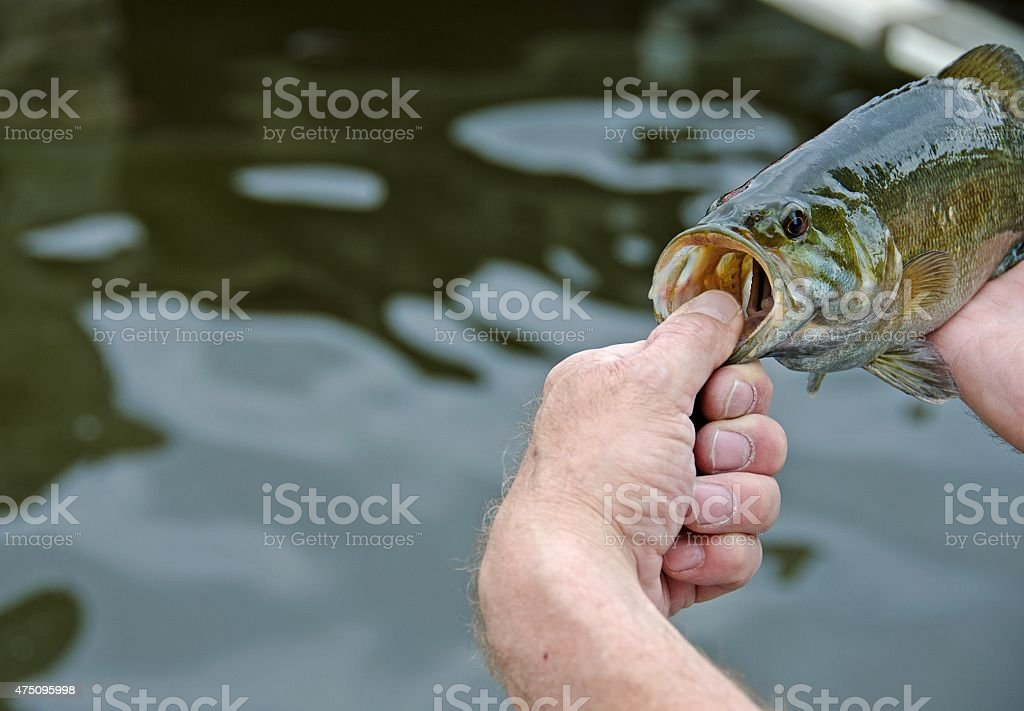 man holding smallmouth bass stock photo