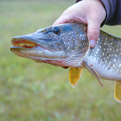 istock A man holds a river pike in his hands 1271463136