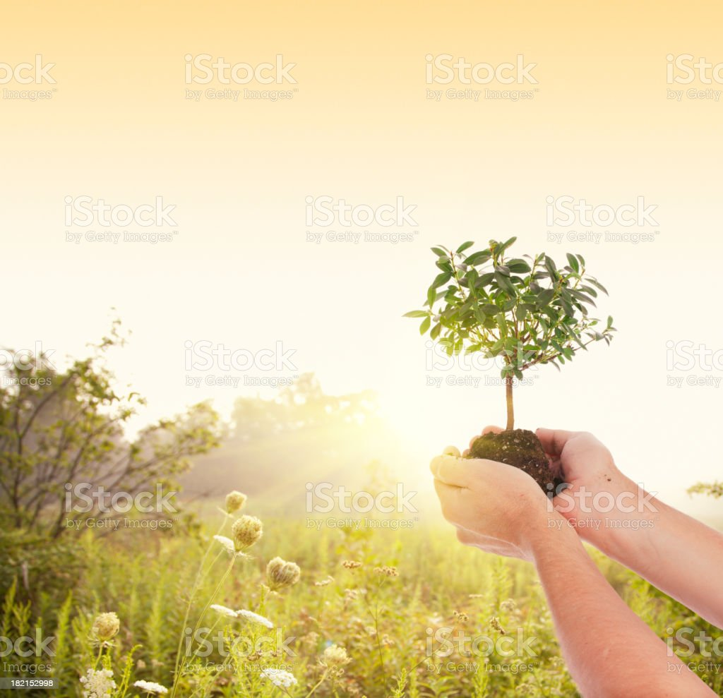 Man Holds a Tree up to the Setting Sun royalty-free stock photo