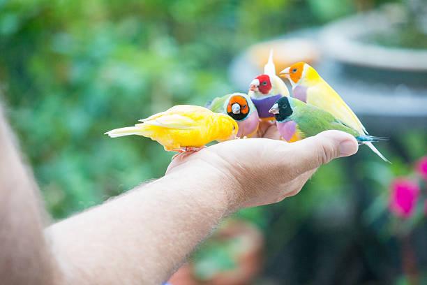 homme quatre pinsons et le canari dans sa main - canari photos et images de collection