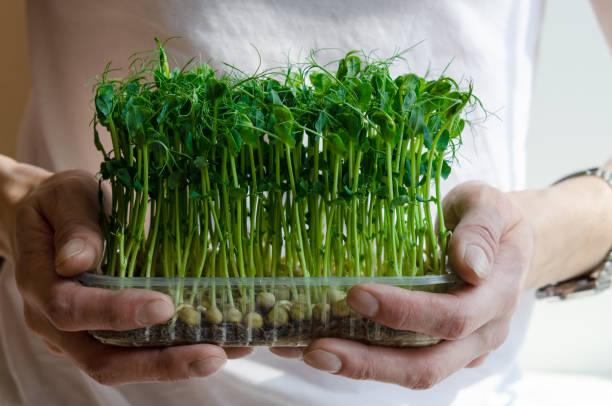 en man håller i sina händer färska och gröna groddar av groda frön av ärtor är - pea sprouts bildbanksfoton och bilder