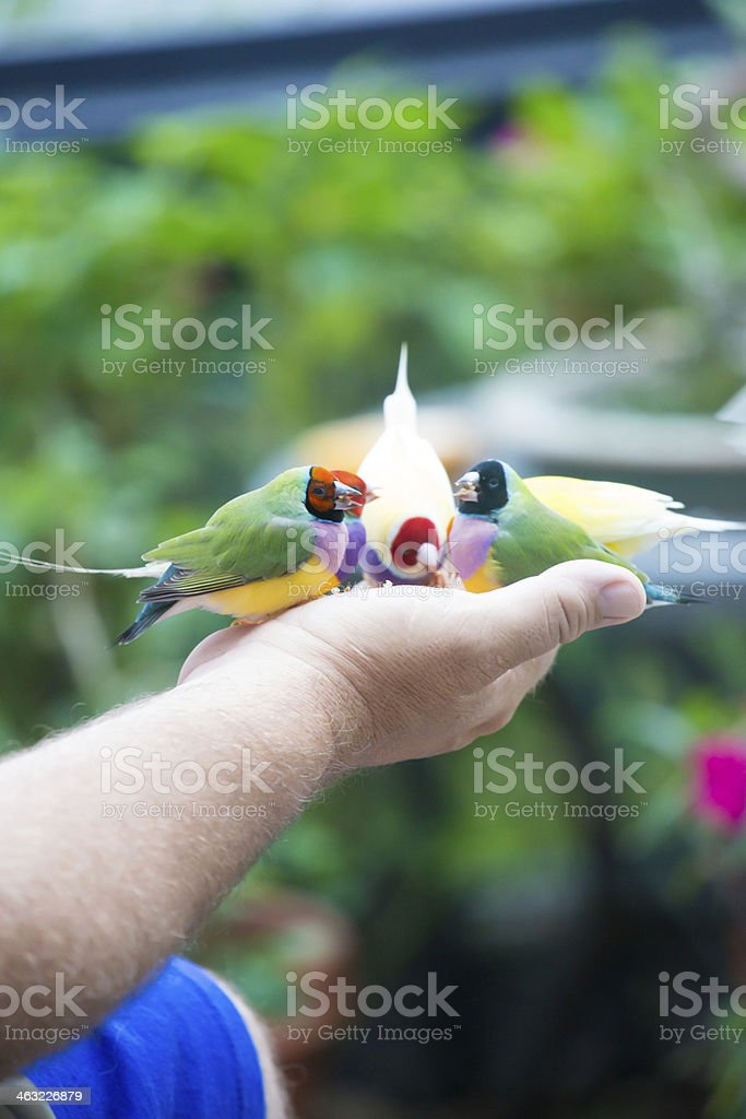 Man holds three finches in his hand royalty-free stock photo