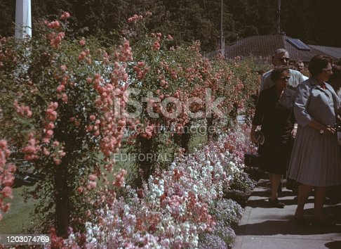 United States - January 01, 1965:  Vernacular photograph taken on a 35mm analog film transparency, believed to depict man in black suit standing near red flowers during daytime, 1965. Major topics/objects detected include Flower, Plant, Shrub, Tree, Woody Plant and Garden.