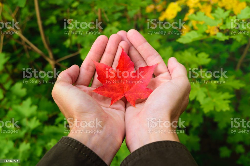 Man in brown jacket holding small red fallen maple leaf in his hands. Autumn story in park. Blur background of green and yellow leaves stock photo