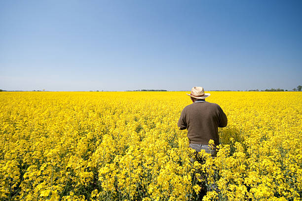 Man in rape field stock photo
