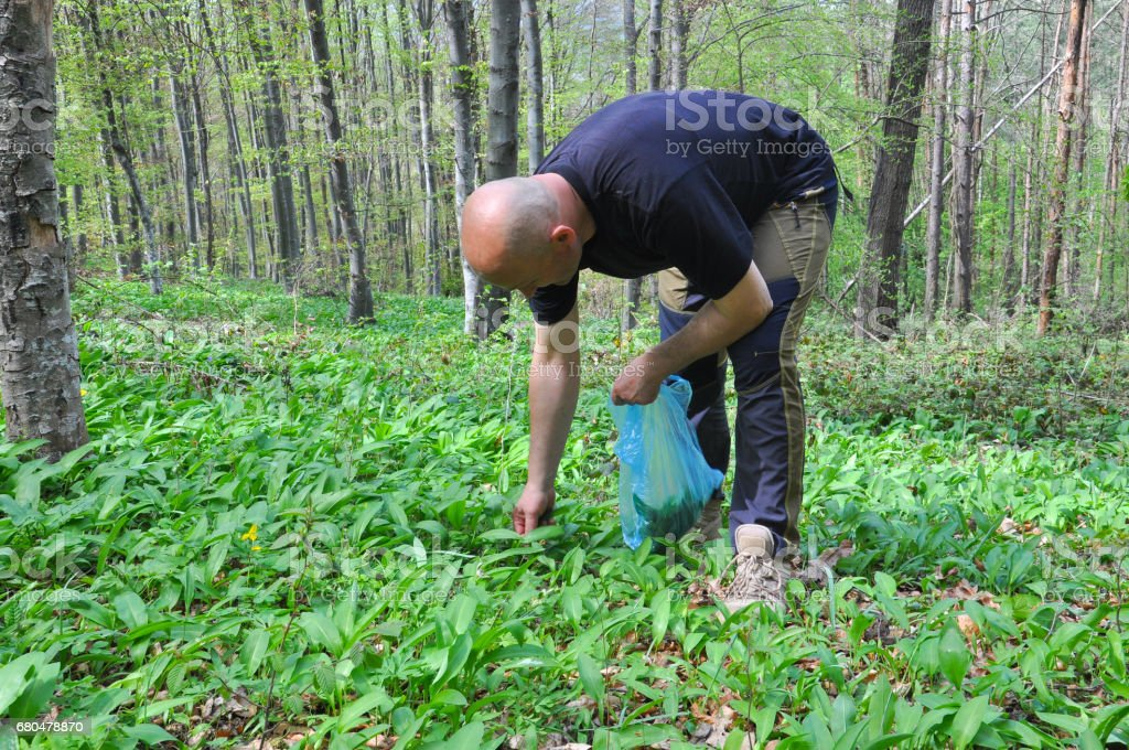 Man in the forest picking wild garlic. stock photo