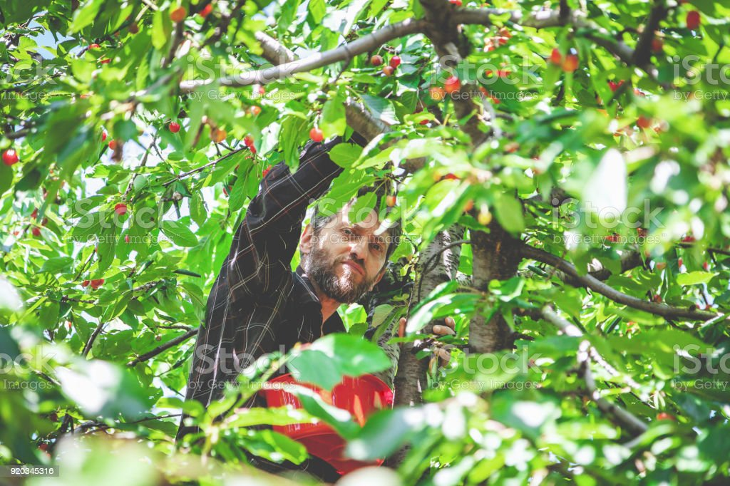 man in tree harvesting red cherry stock photo