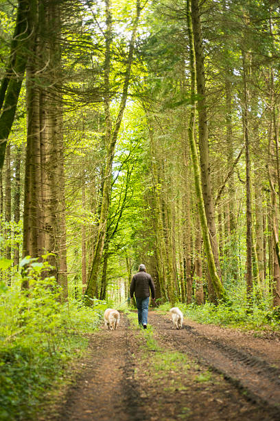 Man in woods walking with dogs stock photo