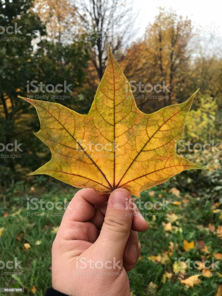 A man is holding a yellow maple leaf on his outstretched hand royalty-free stock photo