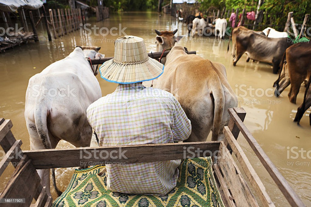 Man is riding a cow cart during the flood stock photo