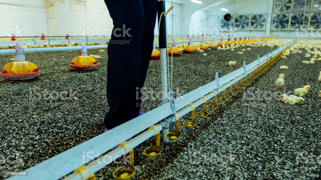Man is standing near chicks feeder on the poultry farm. Innovated farm for broiler chicken indoors. stock photo