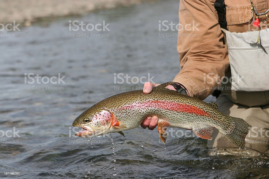 Man lifting an Alaska rainbow trout from the water stock photo