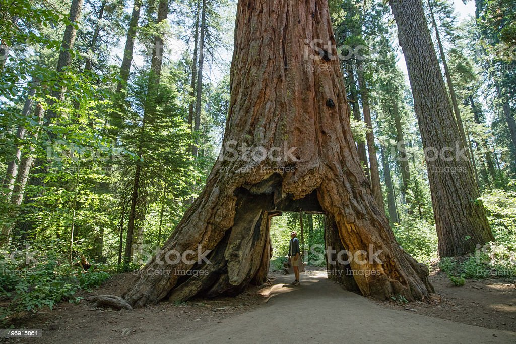 Mann, die in riesigen, uralten Redwood tree Lizenzfreies stock-foto