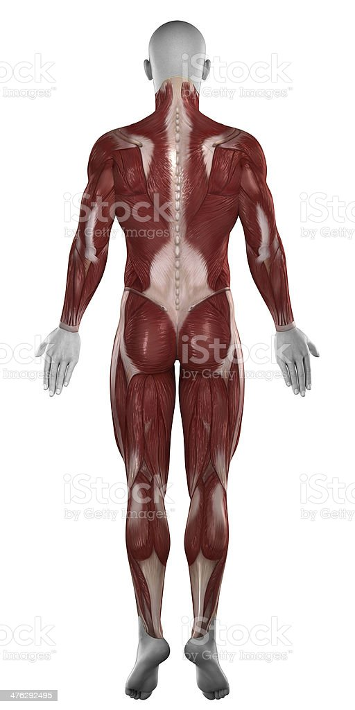 Man Muscles Anatomy Isolated Posterior View Stock Photo & More ...