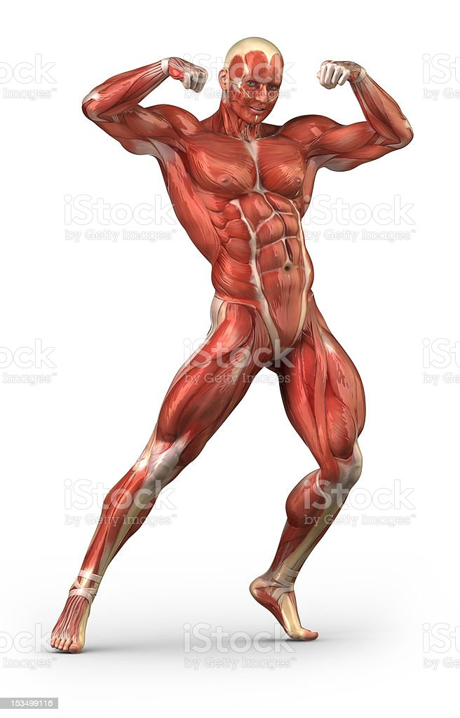 Man Muscular System Anterior View In Bodybuilder Pose Stock Photo