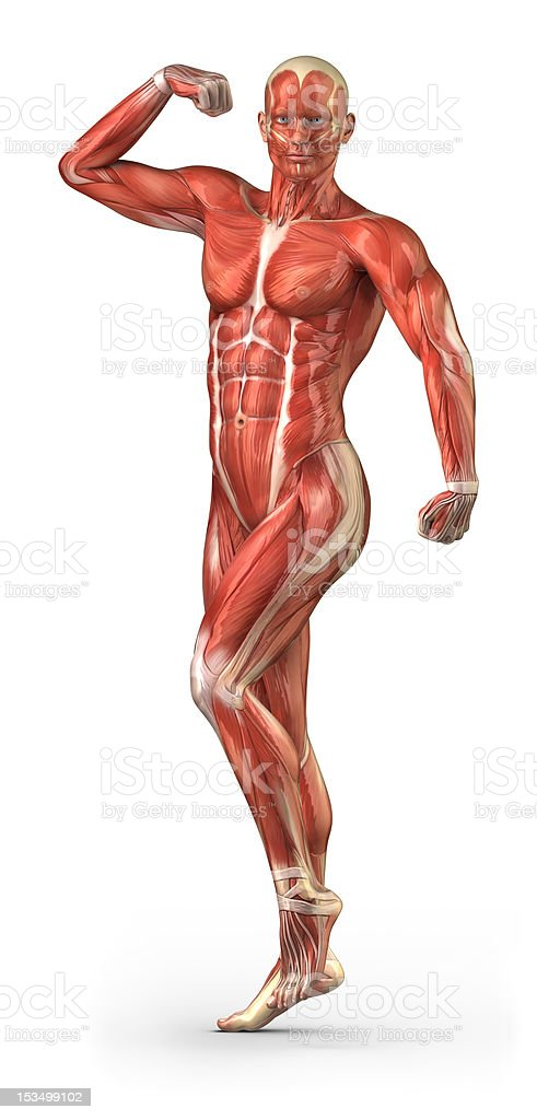 Man muscular system anterior view in body-builder position stock photo