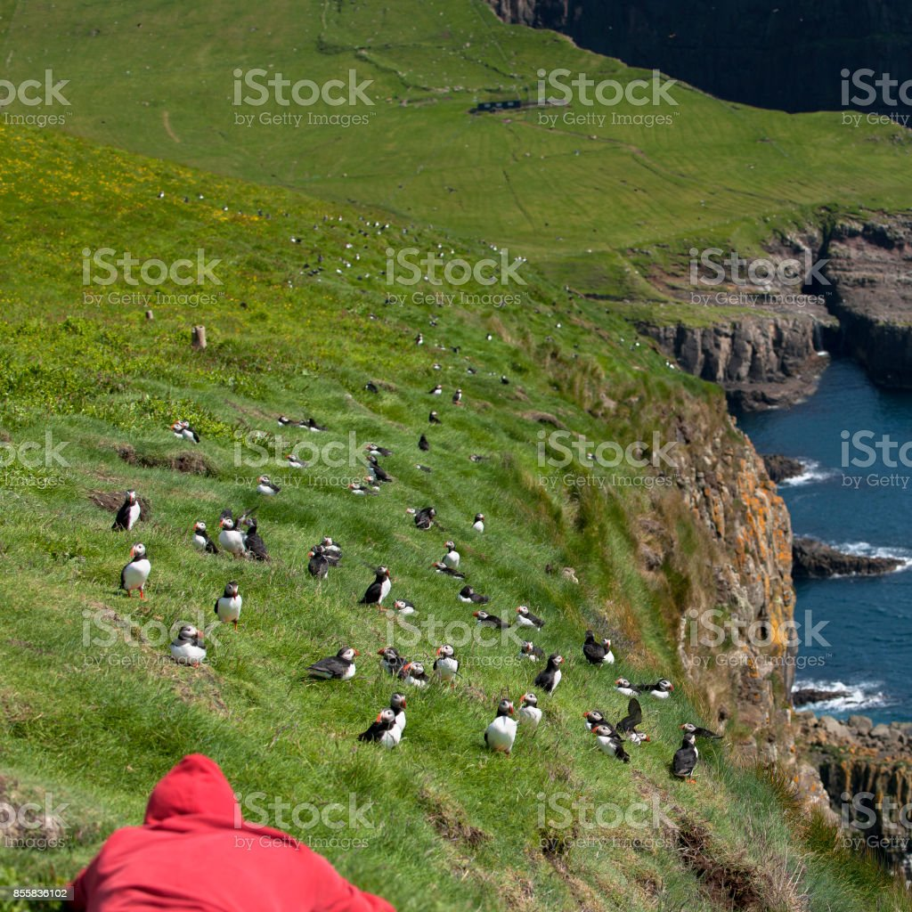 Man observing Atlantic Puffin or Common Puffin, Fratercula arctica, on Mykines, Faroe Islands stock photo