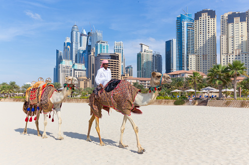 Man Offering Camel Ride On Jumeirah Beach Dubai United Arab Stock Photo - Download Image Now