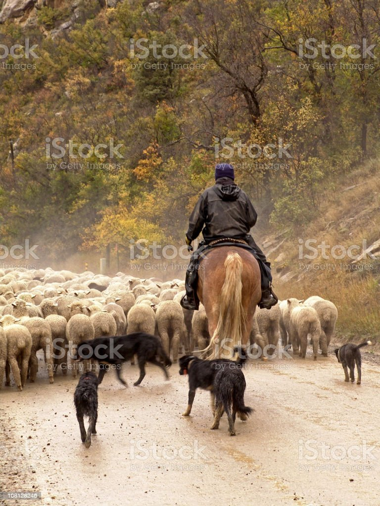 Man on Horse Back Sheep Herding stock photo