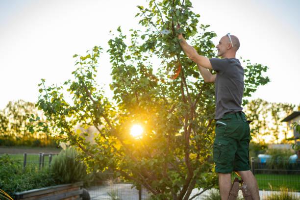 Mann auf Leiter im Garten schneiden Aprikosenbaum bei Sonnenuntergang – Foto