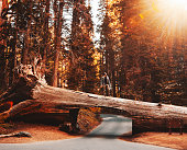tunnel log at sequoia national park