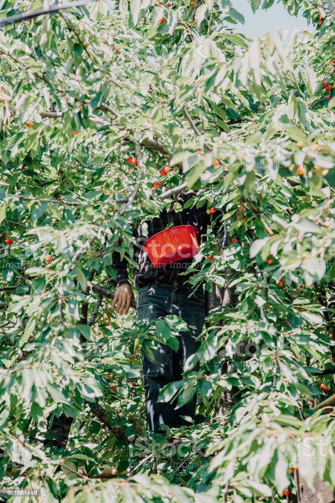 man on tree collects red cherry stock photo
