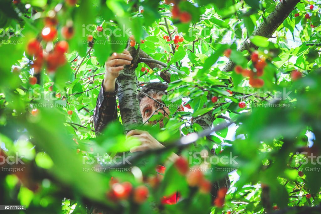 man on tree harvesting red cherry stock photo