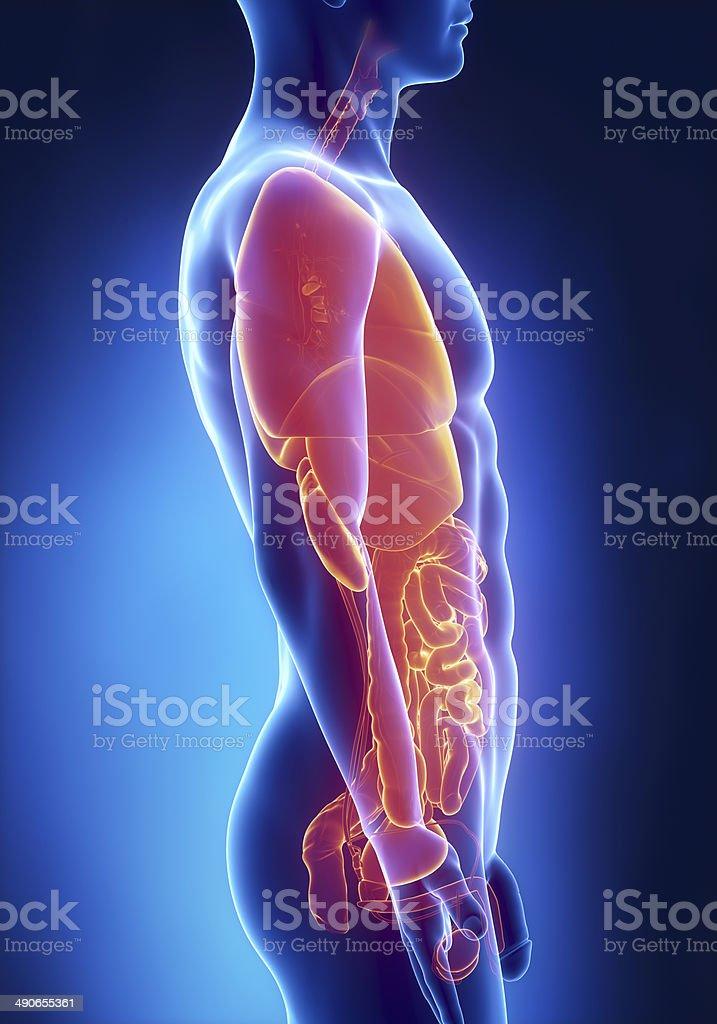 Órganos Hombre Anatomía Vista Lateral De Rayos X - Fotografía de ...