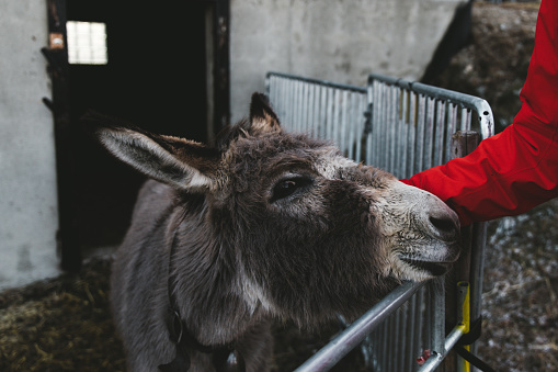 Man petting donkeys in Switzerland