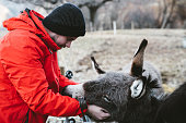 Man petting the beautiful donkeys at mountain village in Switzerland