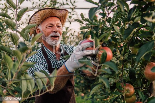 1056015258 istock photo Man picking apples and smiling 1057214088