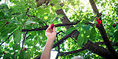 Man picking cherries climbed in the cherry tree closeup. Manual agriculture work abstract