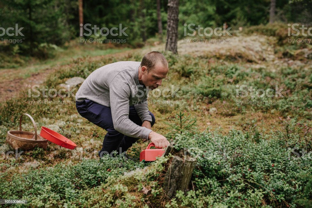Man picking lingonberries in the woods forest nature recreation Man...