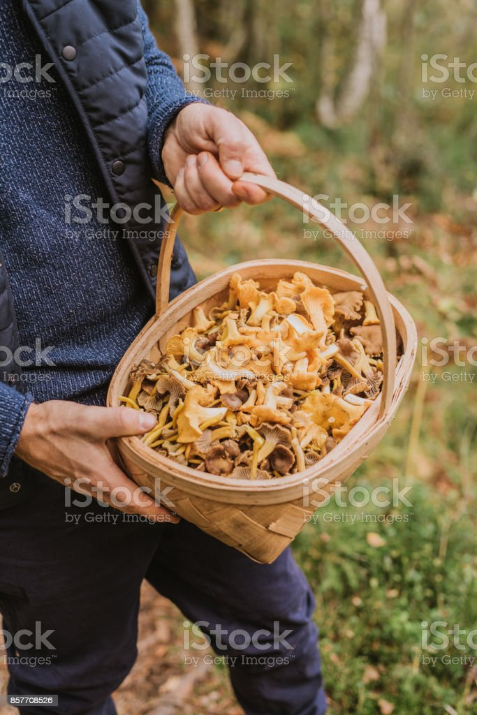 Man picking mushroom in the forest chanterelle and yellowfoot in full basket stock photo