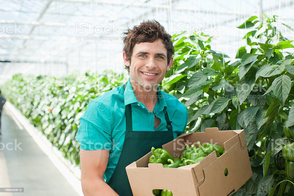 Man picking produce in greenhouse stock photo