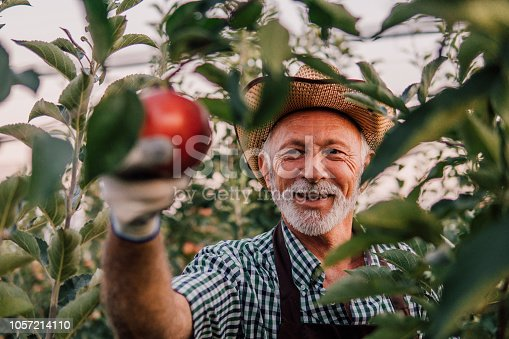 1056015258 istock photo Man picking up apples and smiling 1057214110
